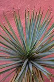 RCS-2008-07-20-New-Mexico-Madrid-Soapweed-Yucca-glauca-08-07-20__MG_9471-7.jpg